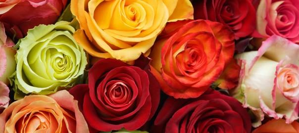 Rosas de Ecuador, ¿las mejores del mundo?