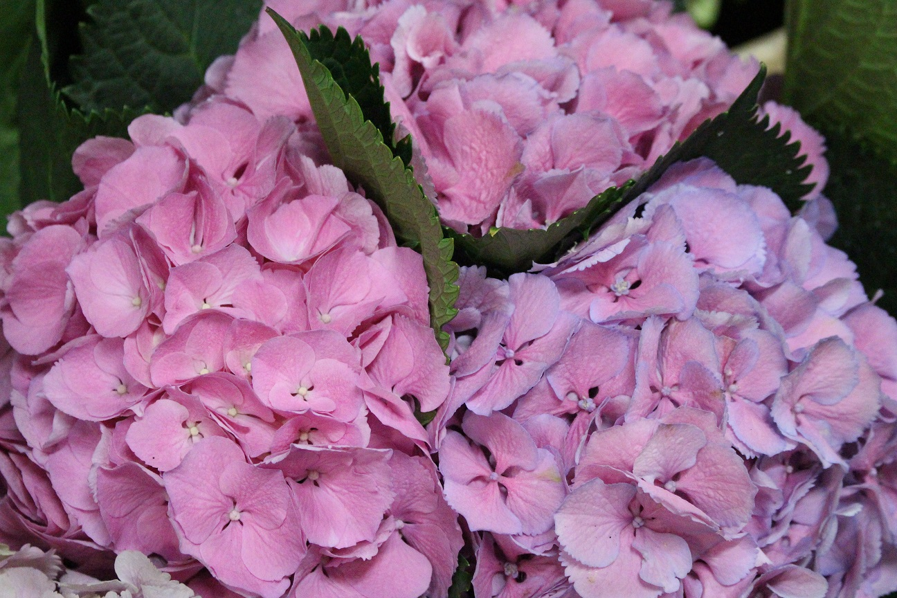 Como secar las hortensias latest hortensias with como - Porros de hortensias ...