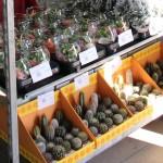 Cactus, composiciones