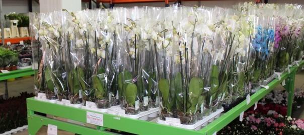 Phalaenopsis en maceta, imprescindible en la floristería actual