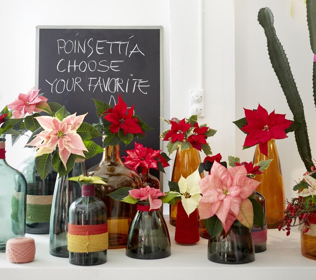 """La poinsettia tiene sus orígenes en Méjico. Crece de manera salvaje como un arbusto en las sierras y puede llegar a medir 5 metros. Desde principios del siglo XVI, """"la flor de noche buena"""" se ha asociado a la navidad en el país centroamericano"""