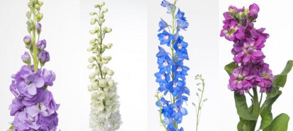 Las Flores por su Nombre ALHELI Y DELPHINIUM