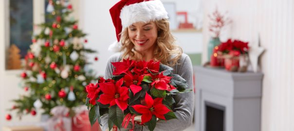 Poinsettia, símbolo de la Navidad